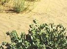 Sahara-Bilsenkraut_1