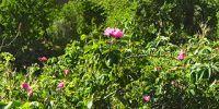 13-hoher-atlas-rosenhecken