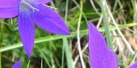 04-karpaten-glockenblume