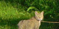 07-wildkatze-karpaten