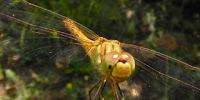 12-libelle-macin-natpark