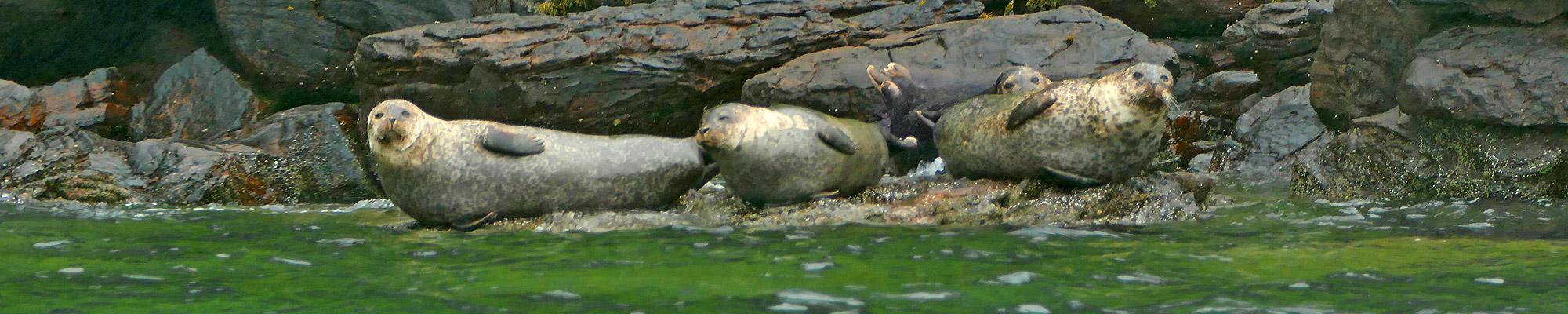 Schottland-Seehunde